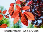 backlit red leaves in a red... | Shutterstock . vector #655577905