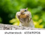 Chipmunk is stuffing food into mouth