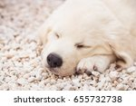 Stock photo a month old white golden retriever puppy sleeping shallow dof 655732738
