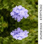 Small photo of Plumbago or Cape Leadwort (Plumbago auriculata) in garden (Plantae, Angiosperms, Eudicots, Core eudicots, Caryophyllales, Plumbaginaceae, Plumbago, P. auriculata)