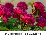 red peonies in the garden.... | Shutterstock . vector #656222545
