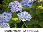 Purple And Blue Hydrangea Bush...
