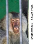 baboon looking through the bars ... | Shutterstock . vector #656254936