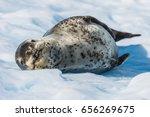 Leopard Seal On Ice Flow In...
