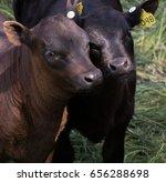 nuzzling calves | Shutterstock . vector #656288698