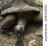 Giant Aldabran Tortoise