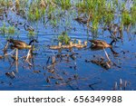 Two Adult Canada Geese  Branta...