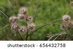 last year's burdock on a green... | Shutterstock . vector #656432758