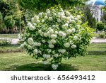 Bush With White Flowers...