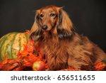 Longhaired Dachshund  Pumpkin...