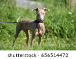 peruvian hairless dog  peruvian ... | Shutterstock . vector #656514472