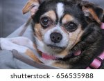 chihuahua | Shutterstock . vector #656535988