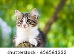 Stock photo cat three colors lying on the tree little kitten sleeping on a branch cute pets playing on an 656561332