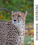 Small photo of Close up portrait of cheetah (Acinonyx jubatus) looking aside of camera, low angle view