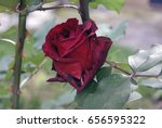 Beautiful Red Rose Against The...