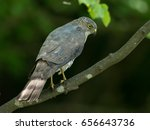 Small photo of ferocious hunter Accipiter gularis in the forest