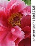 tree peony  paeonia... | Shutterstock . vector #656652325