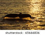 fluke of a humpback whale at sunset - stock photo