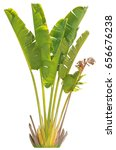 banana tree and leaf on isolate ...   Shutterstock . vector #656676238