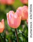 Apricot Beauty Tulips At Showa...