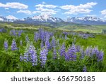 Wildflowers (Wild Lupine) blossoming in the open fields of Colorado with the Rocky Mountains serving as the backdrop. - stock photo