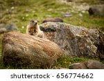 small cute lovable alpine... | Shutterstock . vector #656774662