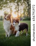 Stock photo two dogs shetland sheepdog sitting together puppy and adult dog family group of dogs of the same 656791972