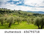 Spring Olive Orchards On The...
