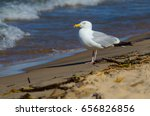 Small photo of American herring gull on the beach at Lake Michigan in Grand Haven, Michigan