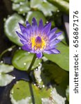 purple lotus in pond | Shutterstock . vector #656867176