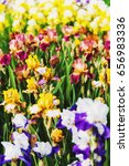 Multicolor Iris Flowers In A...