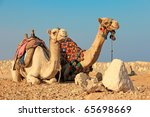 Egyptian Camels