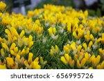 Small photo of Alpine flower, Androsace vitaliana