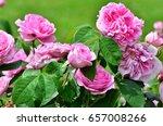 rosebush in the rosarium in the ...