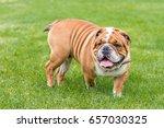 cute english bulldog posing...   Shutterstock . vector #657030325