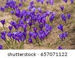Alpine Crocuses Blossom In The...