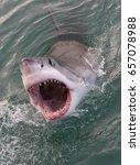great white shark  carcharodon... | Shutterstock . vector #657078988
