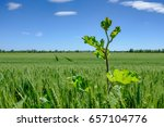 tall weed seen growing in a...   Shutterstock . vector #657104776