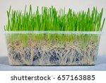 Wheat Grass Seedling Grown In ...