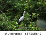 open billed stork  asian...   Shutterstock . vector #657265642
