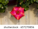 carmine  pink suffused with...   Shutterstock . vector #657270856