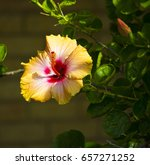 bright yellow suffused with...   Shutterstock . vector #657271252