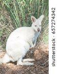 Small photo of Close-up of an albino kangaroo