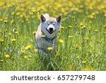 Shiba inu playing in the field