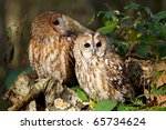 A Pair Of Tawny Owls In A Forest