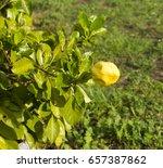 ornamental large yellow flower... | Shutterstock . vector #657387862