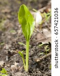 Small photo of Adder's tongue (Ophioglossum vulgatum) fern species