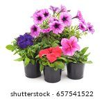 colorful petunias isolated on...   Shutterstock . vector #657541522