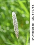 Small photo of Closeup on flower of field meadow foxtail grass Alopecurus pratensis