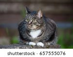 domestic  cat outdoors sitting... | Shutterstock . vector #657555076